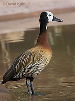 0313-1002  White-faced Whistling Duck, Dendrocygna viduata  © David Kuhn/Dwight Kuhn Photography.