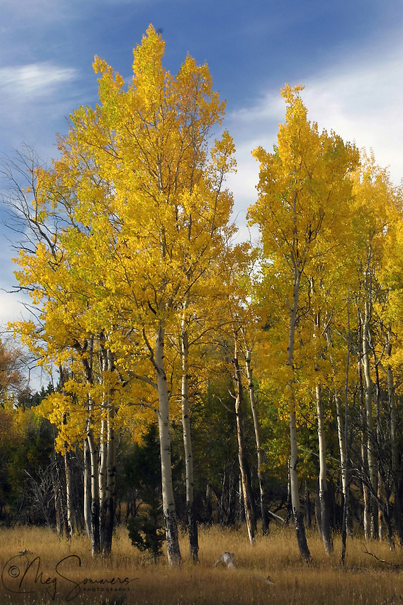 The aspens above Mammoth can be glorious. Yellowstone National Park, Wyoming. <br />