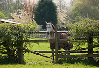 Horse in coat behind a wooden fence, Cheshire.