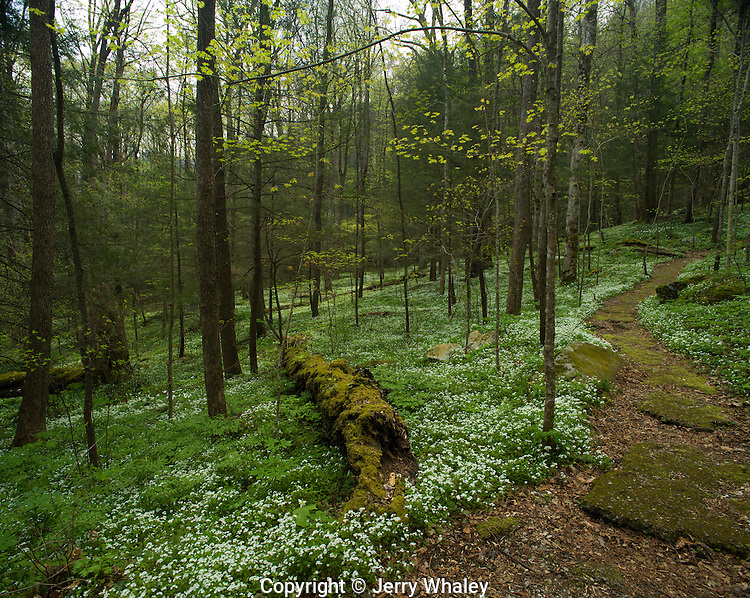 Path, Spring, Chimneys Area, Great Smoky Mtns NP, TN