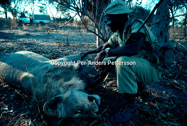 COBOTSWA35047 Botswana. Unidentified officers with a Botswana wildlife anti-poaching unit has found a newly shot and killed lion on November 13, 1996 in the Okavango Delta outside Maun, Botswana. The unit combats illegal poaching in the park, specially the poaching of elephants and rhino. An  international ban on the sale of ivory is supported by the country..©Per-Anders Pettersson/iAfrika Photos