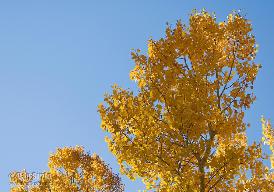 Quaking aspen, Populus tremuloides. Hope Valley, Sierra Nevada Mountains, California