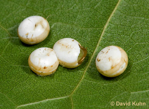 0912-0806  Oculea Silkmoth, Antheraea oculea © David Kuhn/Dwight Kuhn Photography.