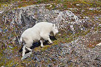 Mountain goat, Kenai Fjords National Park, Kenai mountains, Kenai Peninsula, southcentral, Alaska.