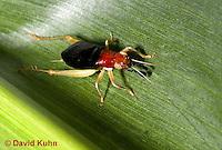0110-0906  Red Headed Bush Cricket, Phyllopalpus pulchellus  © David Kuhn/Dwight Kuhn Photography