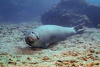 Hawaiian monk seal, ilioholokauaua, Neomonachus schauinslandi, endemic and severly endangered, Gardner Pinnacles, Papahanaumokuakea Marine National Monument, Northwestern Hawaiian Islands, Hawaii, USA, Pacific Ocean