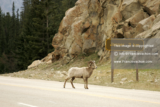A bighorn sheep stands in the middle of the road on Highway 93 near Jasper in the Canadian Rockies