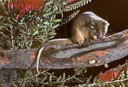 Ringtail Possum (Pseudocheirus perigrinus) feeding on bottlebrush flowers. Southeastern Australia.