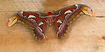 """A perfect specimen of this very beautiful Atlas moth raised in the Magic Wings Butterfly House in Deerfield, MA. Located high up on a wooden rafter, the moth had been  missed by many visitors until I began photographing it. With a simple wooden background, the moths' magnificent coloring; melon, feather-like antennae; """"furry"""" appearance; gossamer portals and diaphanous """"eyes"""" on the tips of its forewings are shown in all their glory. This image is available as a 10x20 upon request."""