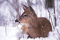 Young White-tailed Deer resting in snow, Michigan