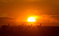 "Una manada de llamas durante el atardecer en el desierto que rodea la ciudad de Uyuni en la región sur de Bolivia.+turismo,  paisaje *A herd of llamas gaze  at sunset  through the desert sourrounding  Uyuni city , in Southern Bolivia +tourism, landscape *Un troupeau de lamas au coucher du soleil dans le désert qui entoure la ville d'Uyuni, dans la région sud de la Bolivie. +paysage, animaux, sauvage, tourisme, .. For  the first time in its history,  in January 2014 the Dakar Rally will  be cross part of Bolivia, one of the wildest South American nations.  ""The organizers of the Dakar, attracted by the discovery of new spaces, were conquered by Bolivian landscapes that can be classified among the most striking of the continent,"" says the official site of the international race.<br />
