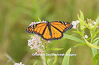 03536-05411 Monarch Butterfly (Danus plexippus) on Swamp Milkweed (Asclepias incarnata), Marion Co., IL