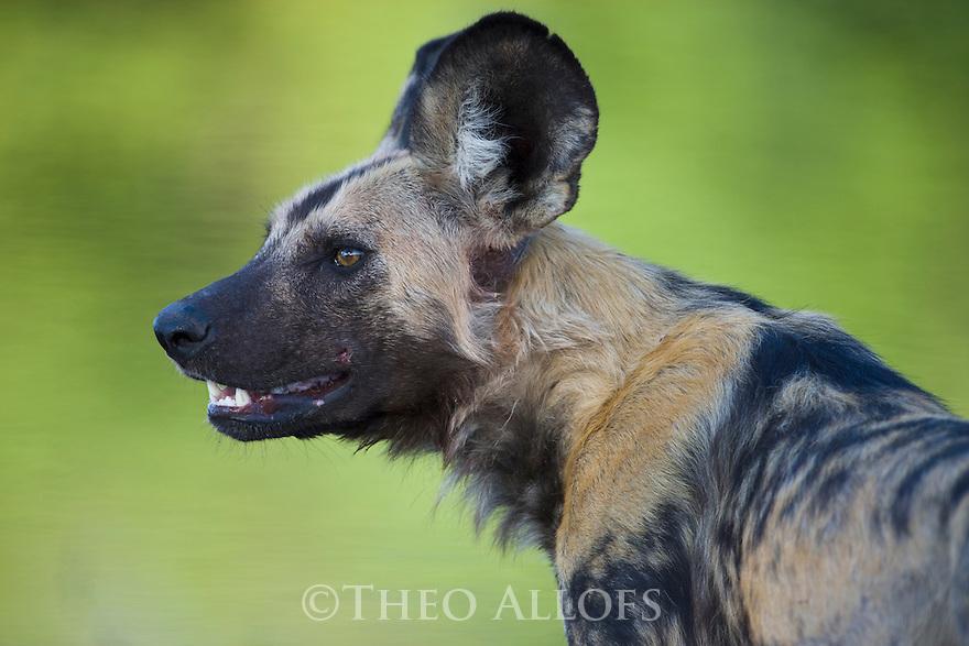 African wild dog (Lycaon pictus) portrait, Botswana, Okavango Delta, Moremi Game Reserve
