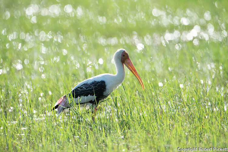 Painted Stork, Mycteria leucocephala, wading in grass and water, backlight by sunshine, Ramsar Wetland, Sri Lanka