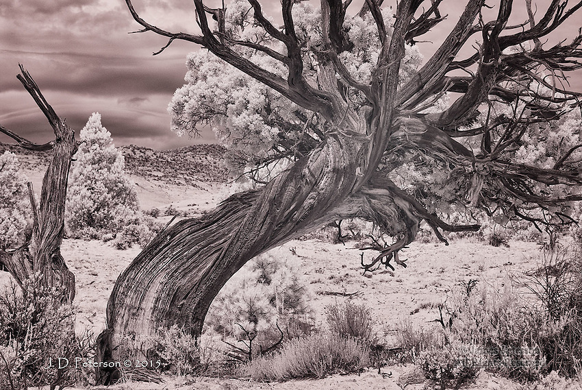 Juniper near Burr Trail, Utah