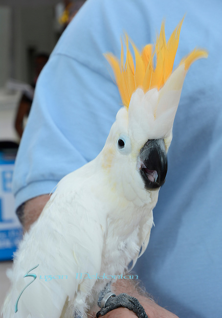 Sulphur Crested Cockatoo  at West Palm Beach Green Market,