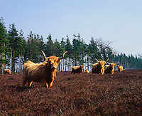 Scotland.  Highland cattle surviving on typically poor grazing..