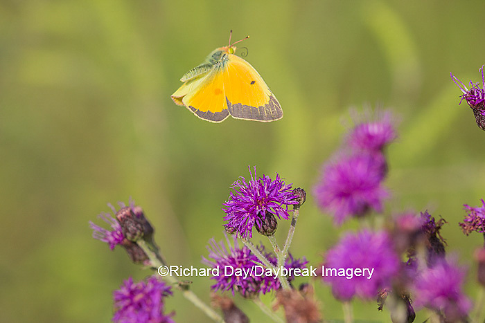 03074-00511 Orange Sulphur Butterfly (Colias eurytheme) in flight near Missouri Ironweed (Veronia missurica), Marion Co., IL
