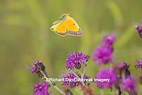 03074-00511 Orange Sulphur Butterfly (Colias eurytheme) in flight near Missouri Ironweed (Veronia missurica), Marion Co., IL