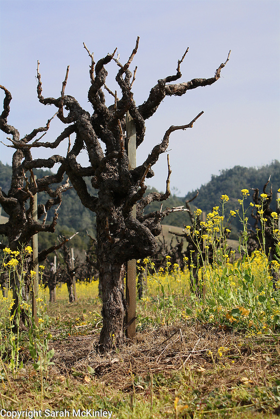 Pointed, gnarled grapevine and Mustard growing between Geyserville and Calistoga in Northern California.