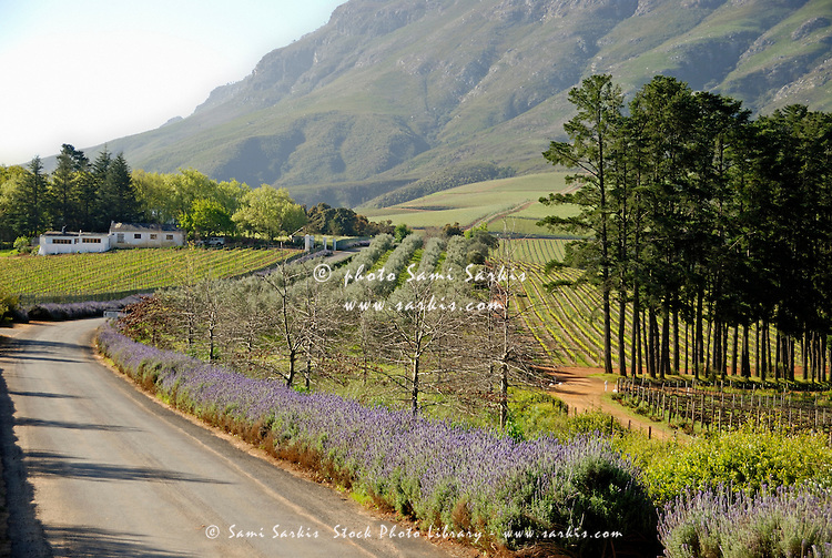 Road along Lavender flowers and vineyards fields nearby Stellenbosch, South Western Cape, South Africa
