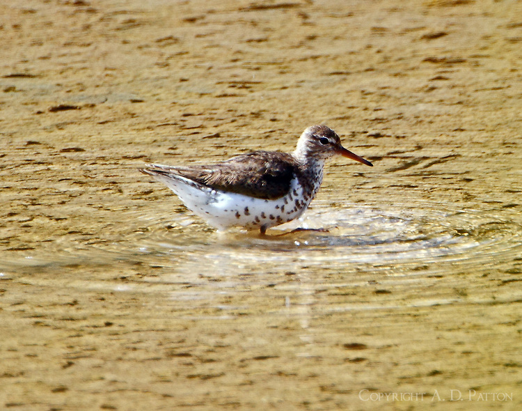 Spotted sandpiper in breeding plumage in July