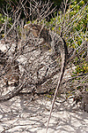 Gardens of the Queen, Cuba; a Cuban Iguana climbing the branches of a bush at the edge of a sandy beach on a sunny afternoon