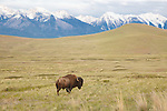 Bull bison on the National Bison Range in western Montana with the Mission Mountains in the background