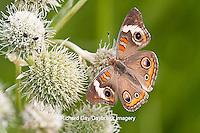 03411-011.14 Common Buckeye Butterfly (Junonia coenia) on Rattlesnake Master (Eryngium yuccifolium) Marion Co., IL