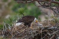 Bald Eagle Nest (Haliaeetus leucocephalus)--adult feeding ten to twelve day old eaglet in tall ponderosa pine tree.  Oregon.  April.