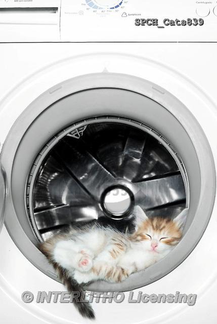Xavier, ANIMALS, REALISTISCHE TIERE, ANIMALES REALISTICOS, cats, photos+++++,SPCHCATS839,#A#
