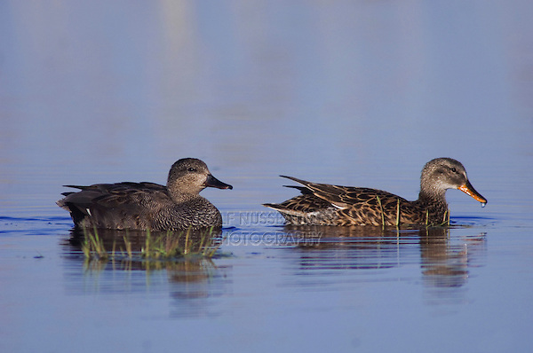 Gadwall, Anas strepera, pair swimming, National Park Lake Neusiedl, Burgenland, Austria, April 2007