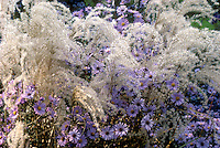 Miscanthus sinensis Kleine Fontaine & Aster laevis Bluebird in autumn fall garden planting combination, ornamental grass and flowers. aka Symphyotrichum laeve 'Bluebird'
