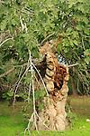 Israel, Shephelah, a Fig tree in Emmaus