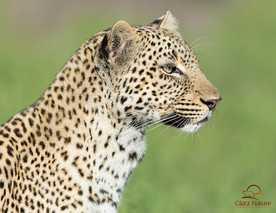 Closeup of young female Leopard (Panthera pardus), Masai Mara