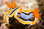 Anilao, Philippines; a pair of Chromodoris annae nudibranchs on the coral reef