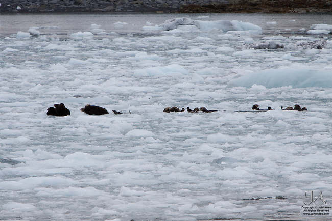 Seals and Otters basking on an ice flow in Prince William Sound, Alaska