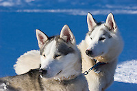 Sweden, SWE, Kiruna, 2008Mar24: Two siberian huskies.