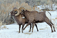 Rocky Mountain bighorn sheep (Ovis canadensis canadensis) rams shoving and kicking one another in dominance display.  This often leads to head butting.  Western U.S., late fall.