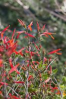 Beloperone californica or Justicia californica -Chuparosa; red flowering shrub California native plant Anza Borrego State Park