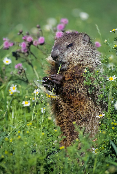 Woodchuck  or groundhog (Marmota monax) eating dandelion in upper midwestern meadow.  Summer