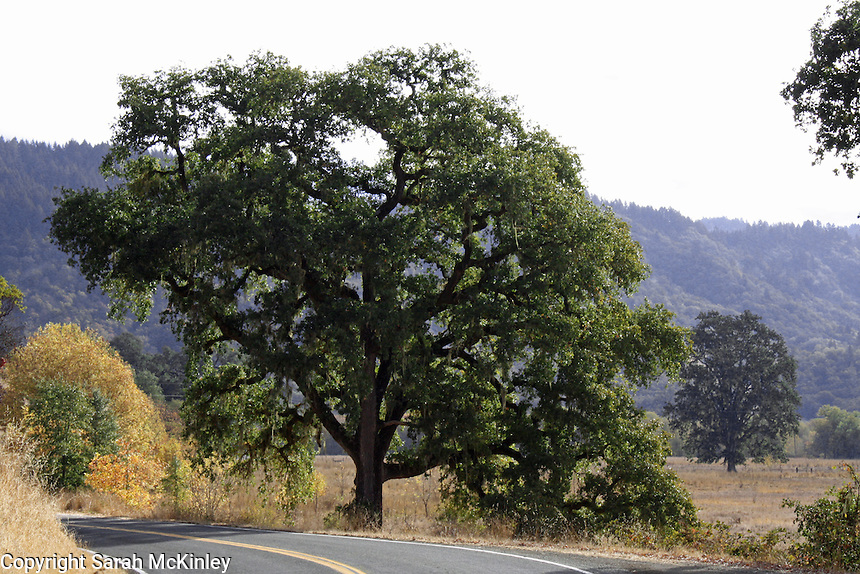 Oak trees along Reynold's Highway and in Little Lake Valley outside of Willits in Mendocino County in Northern California.