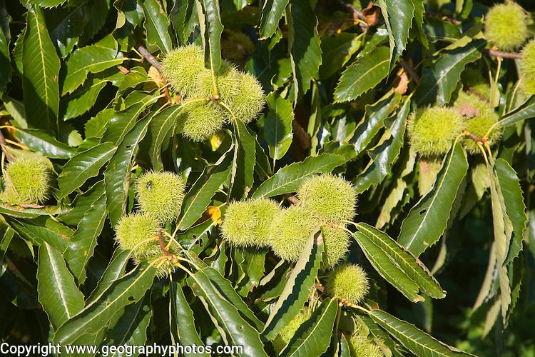 Castanea sativa sweet chestnut tree fruit and leaves, Suffolk, England