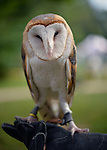Old Westbury, New York, U.S. - August 23, 2014 - COSMO the Barn Owl (Tyto alba) is from WINORR, Wildlife in Need of Rescue and Rehabilitation, at the 54th Annual Long Island Scottish Festival and Highland Games, co-hosted by L. I. Scottish Clan MacDuff, at Old Westbury Gardens. WINORR is run by the Horvaths, licensed animal rehabilitators in North Massapequa.
