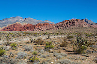 Red Rock Canyon, Nevada.  Mojave Yucca in foreground,  Calico Hills (Red Aztec Sandstone) in background.
