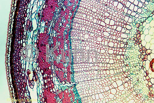 PX05-009b  Basswood Stem - cx of 1 year stem showing phloem tubes (clear), sclerenchyma (red) - Tilia spp.  100x
