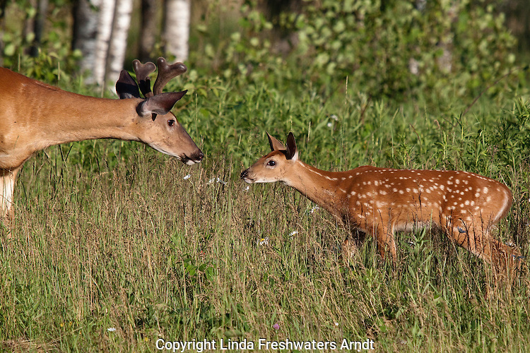 White-tailed buck and fawn in summer