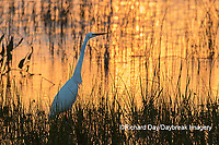 00688-02607 Great Egret (Ardea alba) at sunset Viera Wetlands Brevard County FL