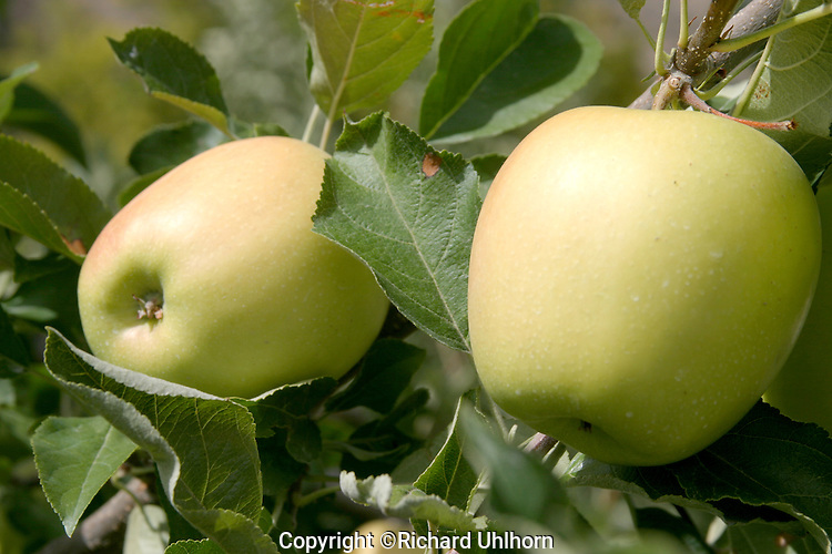 Two ripe Golden Delicious apples hang from a tree limb in a commercial apple orchard in the Lake Chelan Valley.