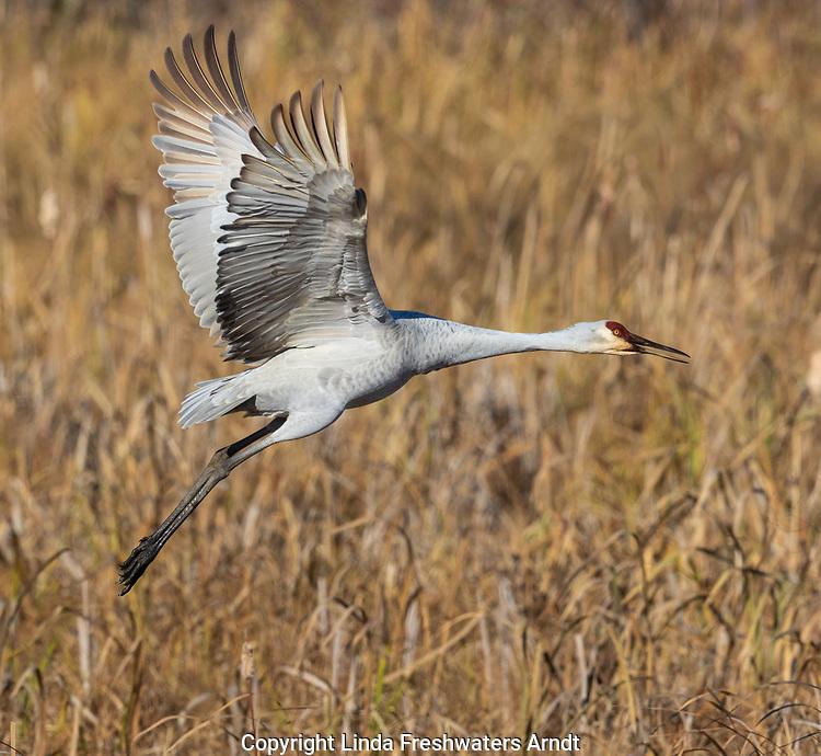 Sandhill crane taking off from Crex Meadows Wildlife Area.